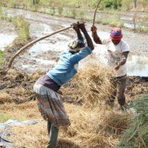 Frauen stärken - Reis säen 3
